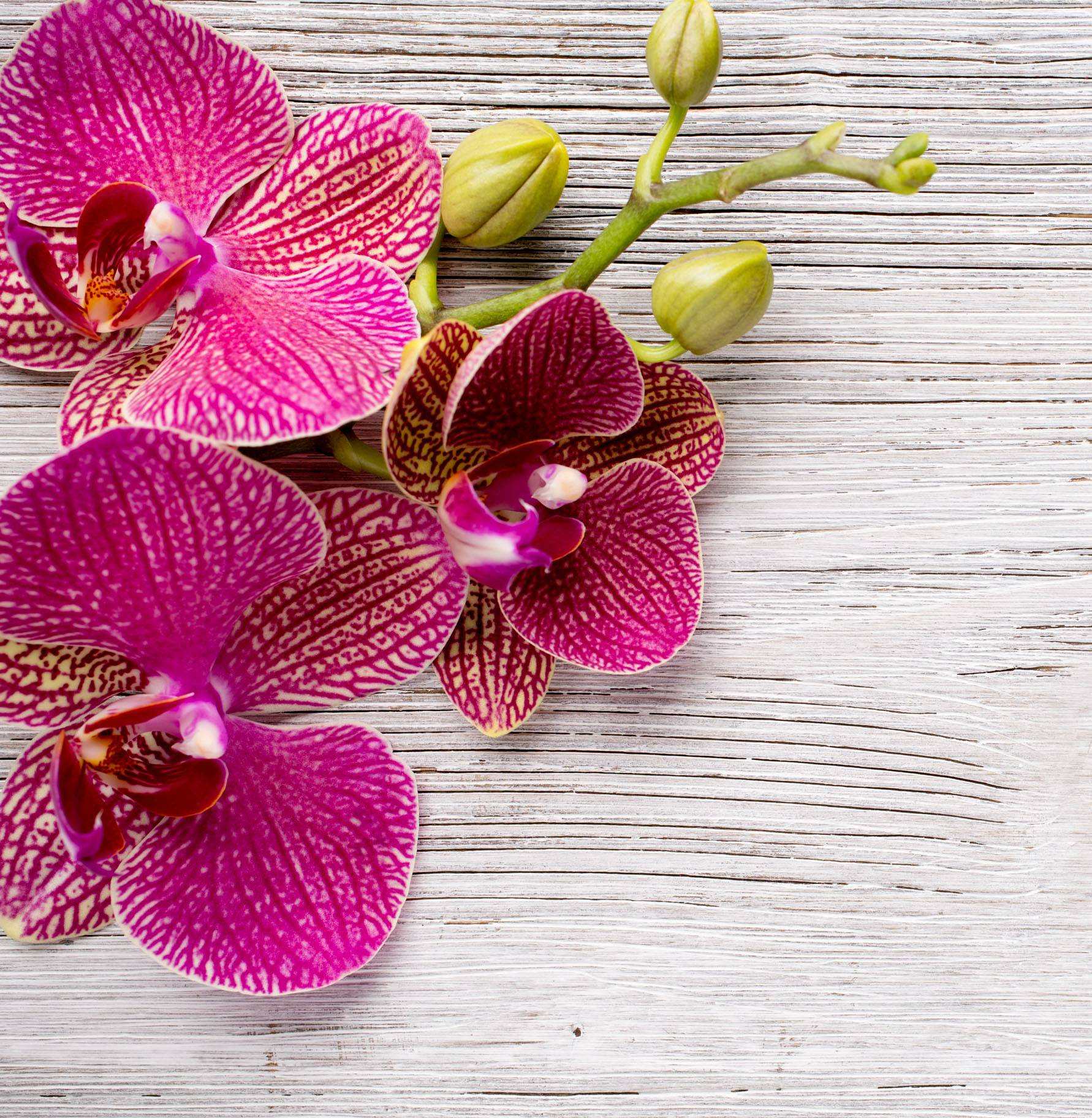 ORCHIDEE : UNE BEAUTE APPRIVOISEE